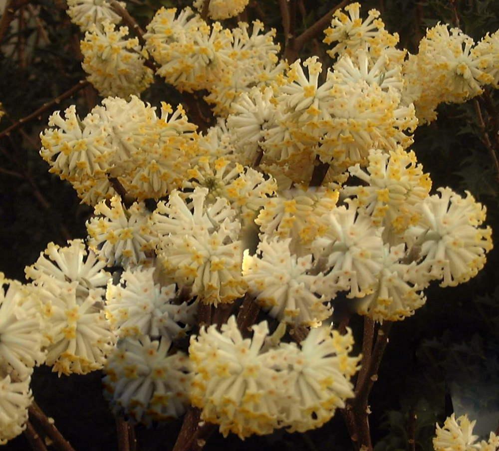Edgewortia chrysantha - Arboretum Adeline
