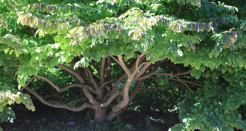 1439 Parrotia persica