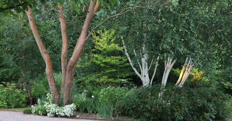 1589 eucalyptus gunni et betula utilis