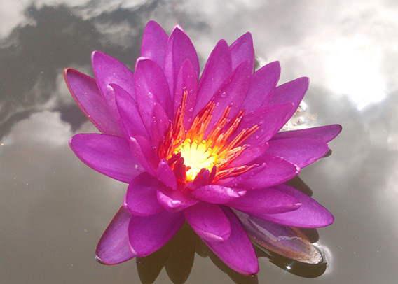 Nymphea Purple Fantasy - Pepiniere Les Filles de l'eau