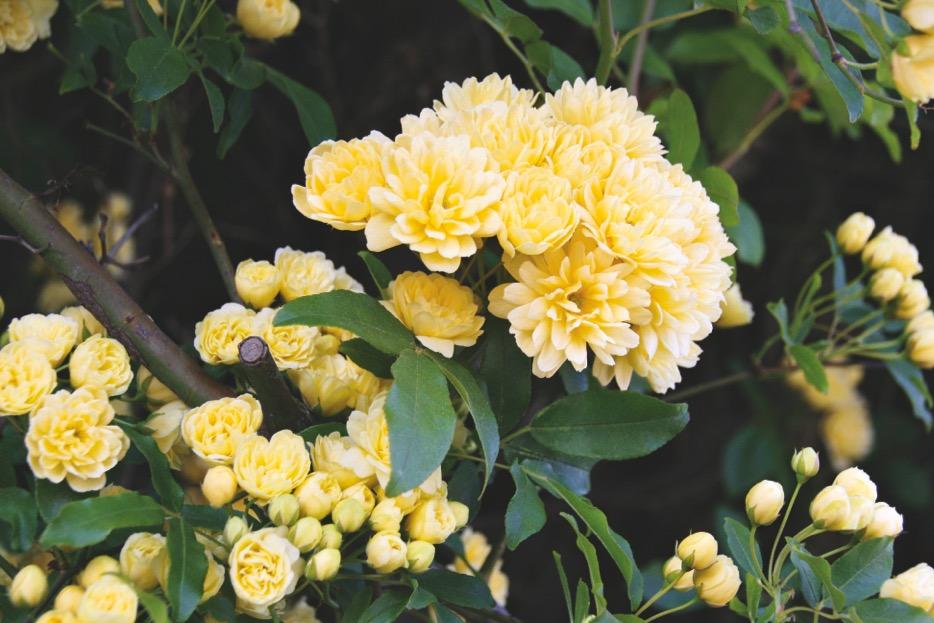 P. 54 - Rosa banksia lutea