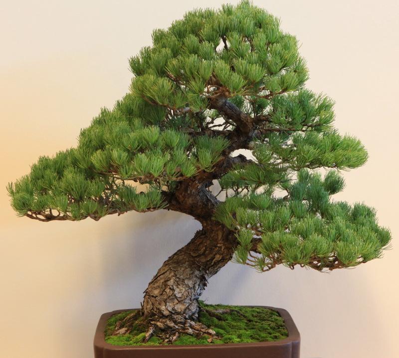 IMG_2571 Pinus parviflora