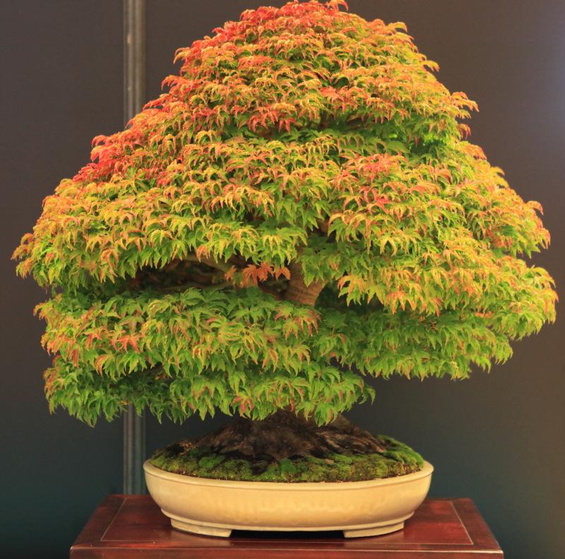 IMG_2592 Acer shishigashira