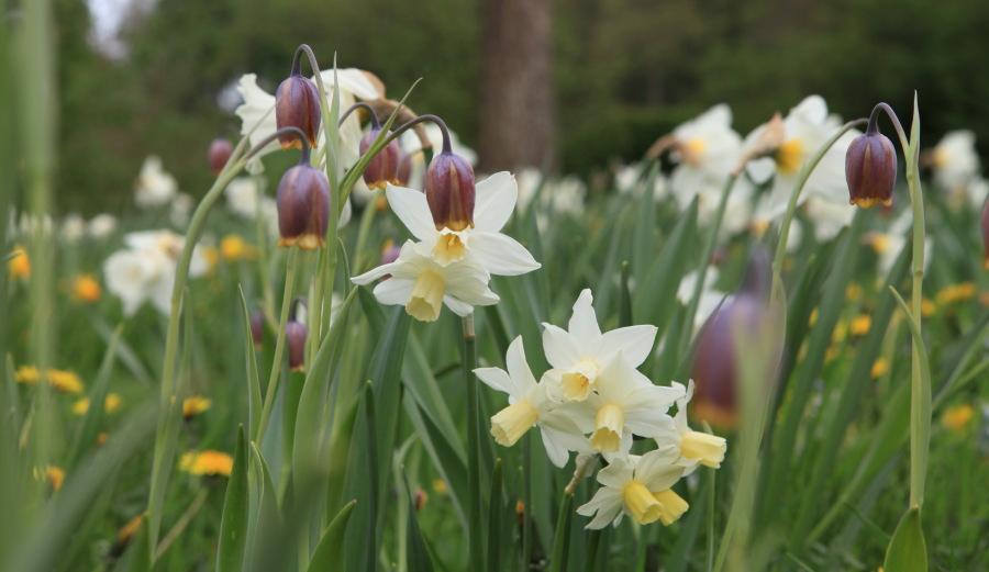 """A deux kilomètres du charmant bourg de Cassel, Emmanuel de Quillac et son associé Bruno Caron ont en une dizaine d'années donné un charme incomparable à une ferme ancienne restaurée, en enveloppant celle ci d'un jardin. Ce jardin est fait dans le style historique des Flandres et le mot """"naturel"""" est bien celui qui lui convient le mieux. Les milliers de narcisses qui envahissent les pelouses chaque printemps en est l'exemple le plus frappant. Ici, Fritillaria uva-vulpis et Narcissus 'Mount Hood'."""