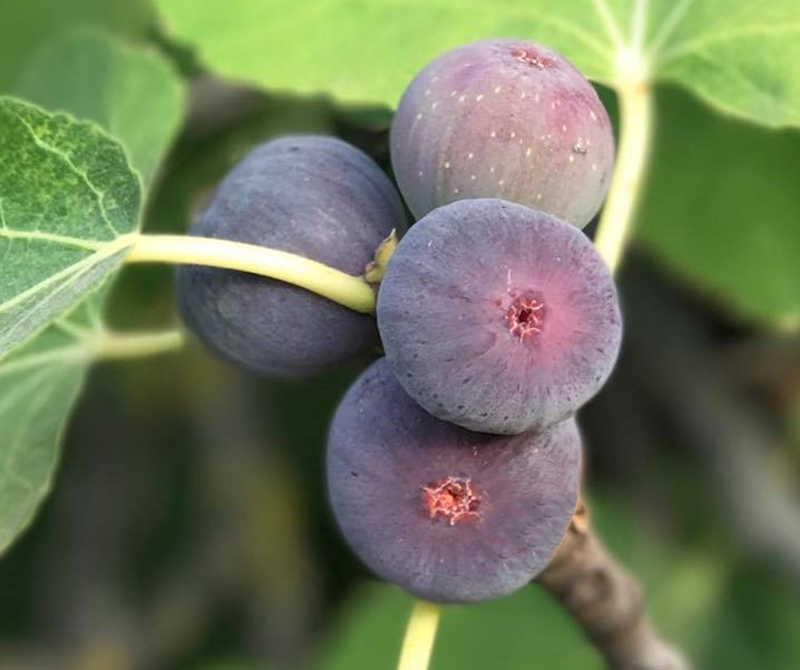 FicusFIGALITYfruitscreditVerdia