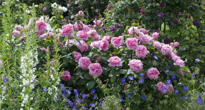 roses-Gertrude-Jekyll-with-Epilobium-Geranium-Brookside-1536x1028