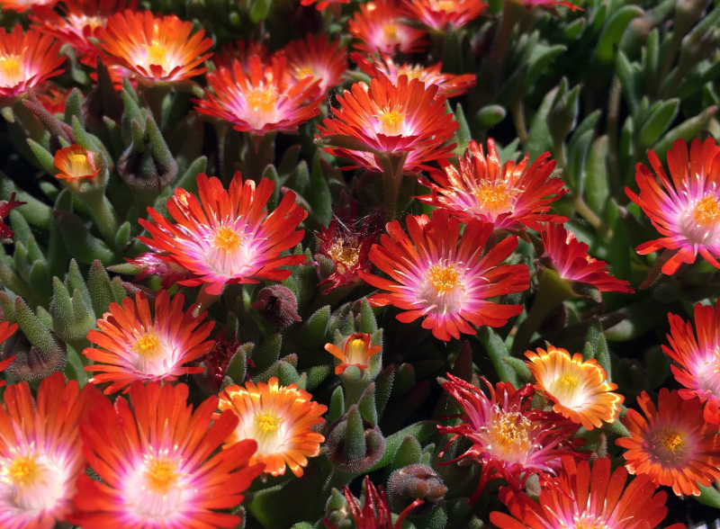 Delosperma 'Seigne Orange'_Sempervivum