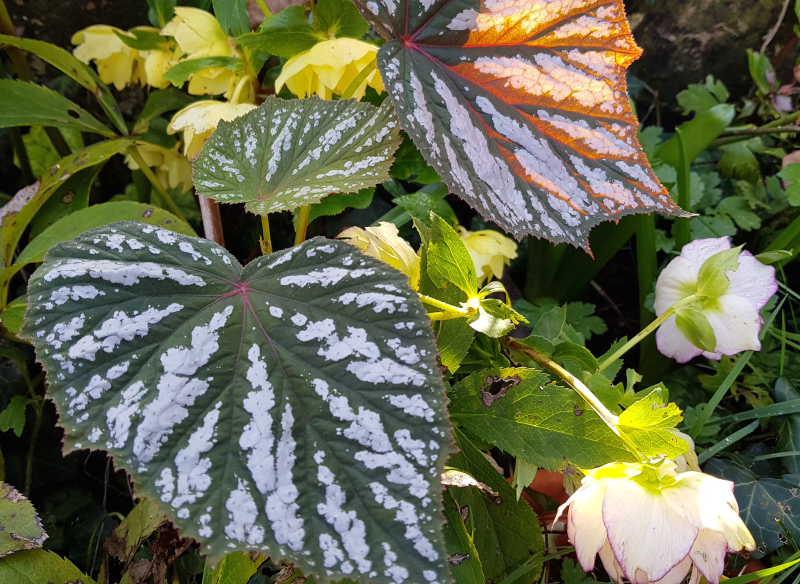 Begonia grandis ssp
