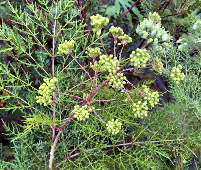 Polyscias sambucifolia_Saint Meloir