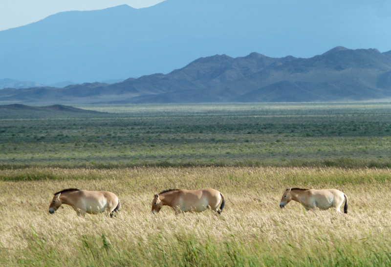 Przewalski-Pferde in ihrer neuen alten Heimat, dem mongolischen